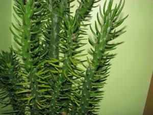 kaktus 002